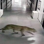 afara e vopsit gardul inauntru-i leopardul chiar s-a intamplat la o scoala din india