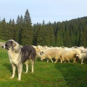 acord intre ministerul agriculturii si ciobani pentru numarul de caini de la stana