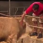 impresionant reactia unui taur eliberat dupa ce a fost tinut in lanturi toata viata video