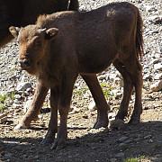 mai multi zimbri liberi din muntii tarcu atacati si ucisi de o haita de caini salbaticiti