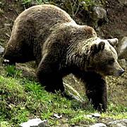 jandarmii au salvat un cioban atacat de urs in muntii ciucas