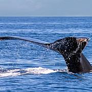 27 de balene au esuat pe o plaja din mexic doar trei au fost salvate