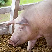 focar de pesta porcina in ucraina la granita cu romania targurile de porci din judetele din nord-est inchise pe perioada nedeterminata