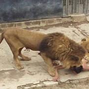 doi lei au fost impuscati la zoo din cauz aunui sinucigas care a sarit in cusca recitand citate din biblie