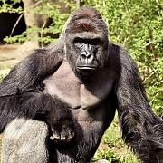 autoritatile nevoite sa impuste mortal o gorila a gradinii zoo din cincinnati dupa ce un copil a cazut in cusca animalului