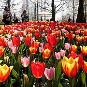 keukenhof parcul olandez unde pot fi admirate 800 de soiuri de lalele