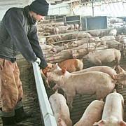 patrunderea pestei porcine in romania este iminenta