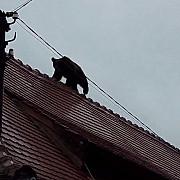 presa internationala scrie despre ursul impuscat mortal de catre autoritati in centrul sibiului