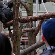 o gorila periculoasa fugita dintr-o gradina zoologica a fost tranchilizata in centrul londrei