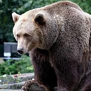 un turist american a fost atacat de un urs la marginea orasului brasov
