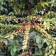 pretul cafelei va creste semnificativ