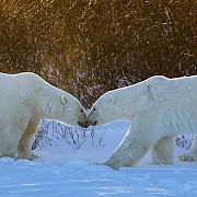 14 ursi polari au asediat un grup de cercetatori rusi care s-au refugiat intr-o baza din oceanul arctic