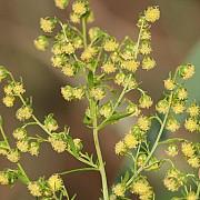 un medicament pe baza unei plante care se gaseste si in romania ar putea vindeca doua boli grave