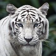 animale noi la zoo bucov lei si tigrii albi camile lame toate provin de la circul globus