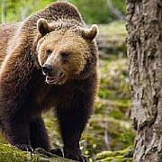 patrule de jandarmi in statiunea cheia dupa ce o ursoaica si-a facut aparitia in localitate