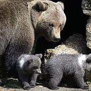 ursoaica si puii care au speriat turistii de la cheia au fost capturati video
