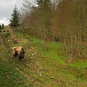 noua zimbri dintr-o rezervatie din suedia au fost adusi in muntii tarcu