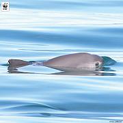 vaquita este pe cale de disparitie leonardo di caprio si presedintele mexicului campanie online pentru salvare