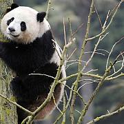 china va trimite in danemarca o pereche de ursi panda urias