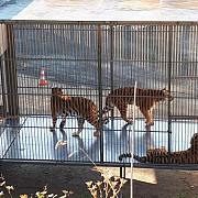tigru ucis la paris dupa ce a scapat de la un circ