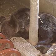 urs capturat in zona autogarii din campina foto video