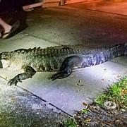 un aligator urias a spart geamul si a intrat in locuinta unei femei