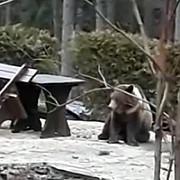 imagini socante momentul in care puiul de urs din predeal este impuscat
