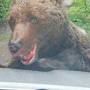 video foto urs agresiv pe drumul spre cascada urlatoarea