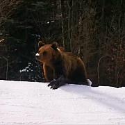 ministrul mediului tanczos barna pledeaza pentru necesitatea diminuarii numarului de ursi nu exista nicio specie care sa puna in pericol populatia de ursi si numarul lor tot creste pericolul e tot mai mare