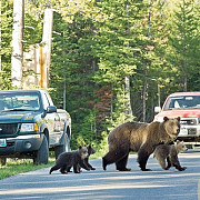 busteni ursoaica incearca sa se urce pe masina parcata in fata blocului