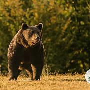 comisia europeana analizeaza rapoartele ong-urilor referitoare la uciderea ursului arthur comisarul pentru mediu asteapta de la autoritatile romane o investigatie foarte detaliata a incidentului