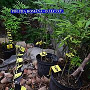 satu mare trei barbati arestati dintre care unul la domiciliu pentru cultivare de droguri