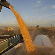seceta face ravagii productii mai mici cu 25 la grau si cu 50 la porumb