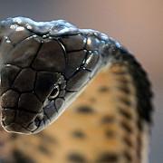 si-a ucis sotia aruncand cu o cobra in ea femeia se recupera dupa ce a incercat sa o omoare cu o vipera