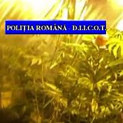 cannabis cultivat in satu mare comercializat in prahova un barbat a fost retinut