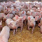 guvernul interzice romanilor sa-si mai creasca porcii in propria gospodarie