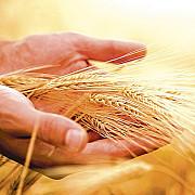 pretul cerealelor la cel mai ridicat nivel din ultimii sase ani