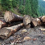 perchezitii intr-un dosar ce vizeaza taieri ilegale de arbori prejudiciul - 4 milioane euro