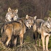 o haita de lupi a facut prapad la o stana de oi dintr-o localitate prahoveana