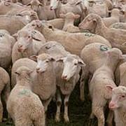 protest cu peste 100 de oi pe dn1 la comarnic