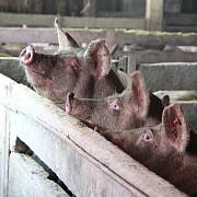 petre daea a decis cel mult 5 porci intr-o gospodarie