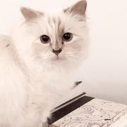 averea uriasa pe care o va mosteni choupette pisica designerului karl lagerfeld