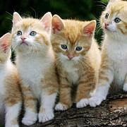 australia vrea sa omoare 2 milioane de pisici