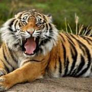 accident incredibil la circ  patru tigri au ucis un imblanzitor