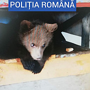 trupele speciale au gasit un pui de urs tinut captiv de un barbat din borsa cetateanul avea si 40 de kilograme de carne de vanat