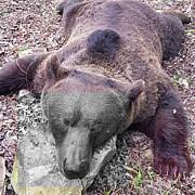 imagini revoltatoare cadavrul unui urs impuscat batjocorit in feluri halucinante