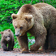 interventie a jandarmilor pentru alungarea unei ursoaice cu pui care a coborat pe o strada din busteni