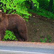 atentie urs ranit de un autoturism pe valea prahovei