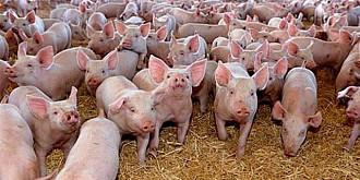virusul pestei porcine a fost confirmat la cea mai mare ferma din romania 140 de mii de porci vor fi sacrificati