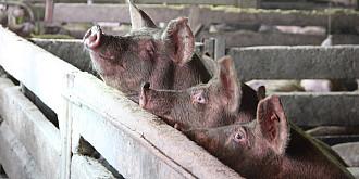 bulgaria focar de pesta porcina intr-un sat aflat la 15 km de granita cu romania  17000 de porci vor fi eutanasiati